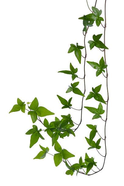 ivy stängel, isoliert auf weißem hintergrund. - poison ivy pflanzen stock-fotos und bilder