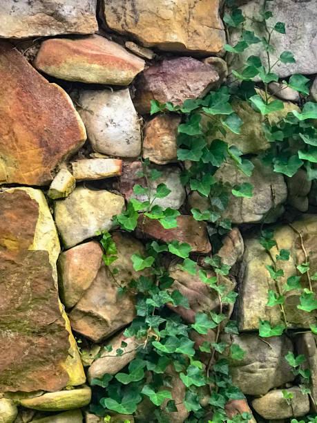 Ivy Stone Wall stock photo