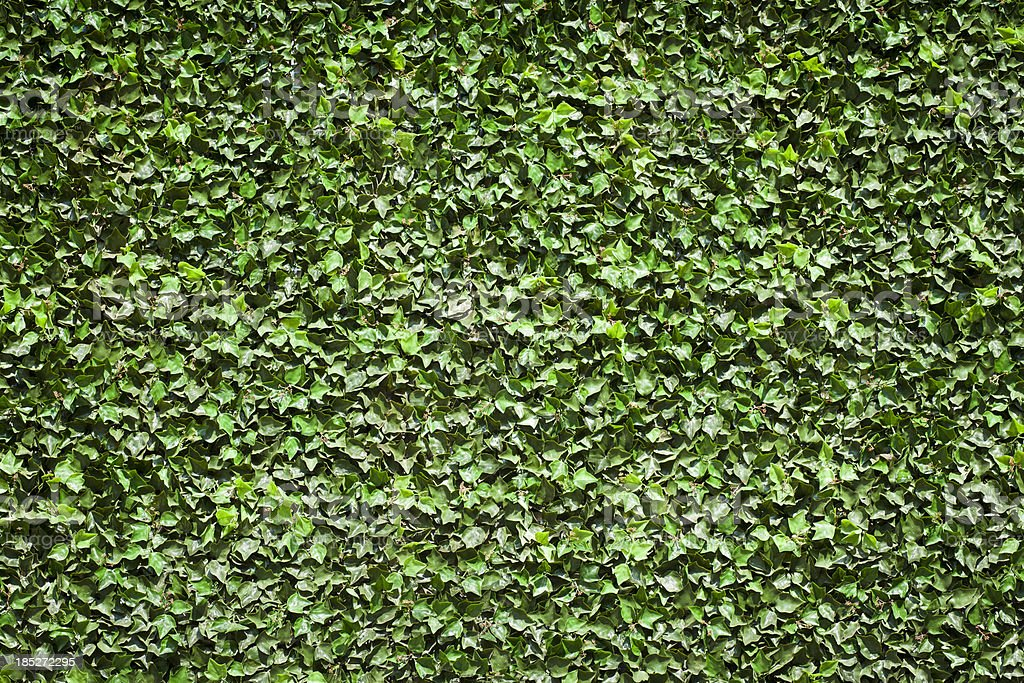 Ivy Texture royalty-free stock photo