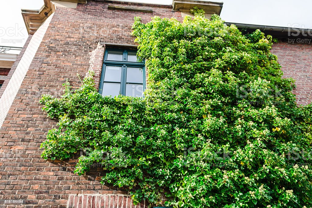 Ivy vegetation on a house wall. stock photo