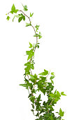 Digital illustration of green ivy plant isolated against a white background.  The ivy leaves are highly concentrated at the bottom of the image, then become more sparse as the stem climbs upward to the top of the frame.  The ivy curls vertically through the image.