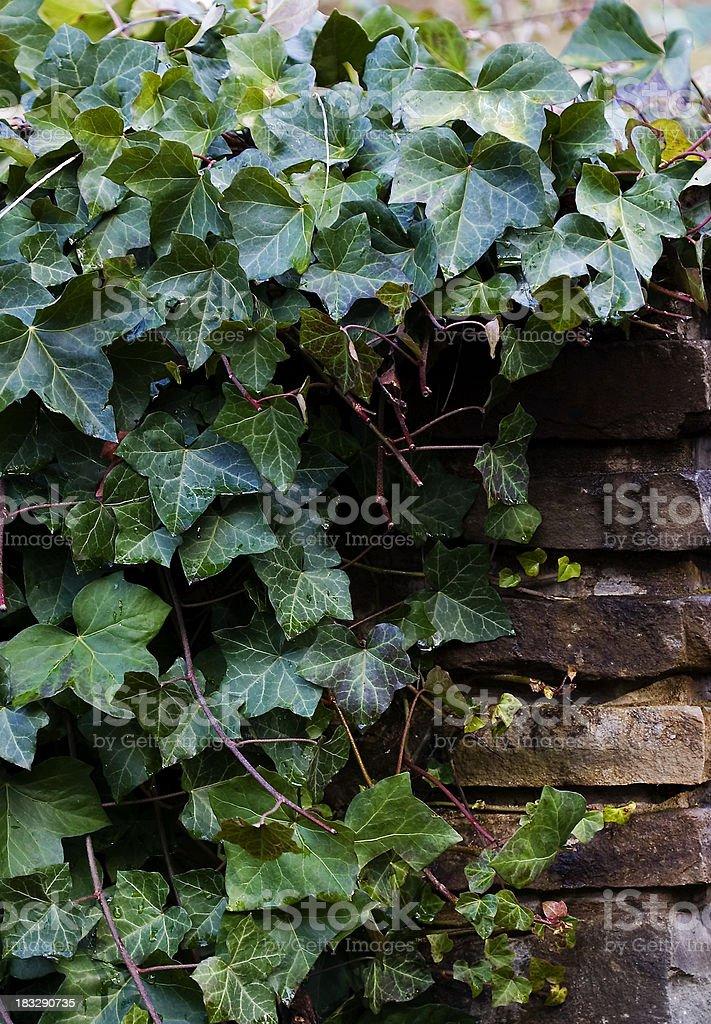 ivy vines royalty-free stock photo