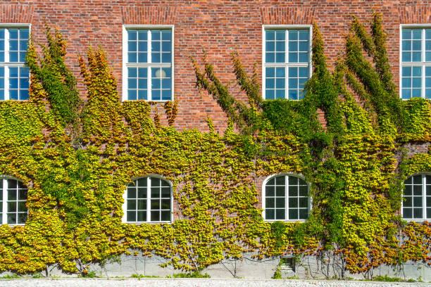 ivy wall - ivy building imagens e fotografias de stock