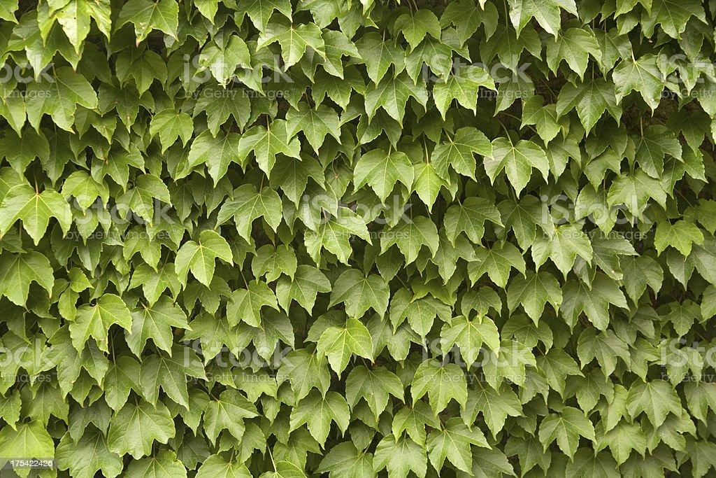 Ivy Wall royalty-free stock photo