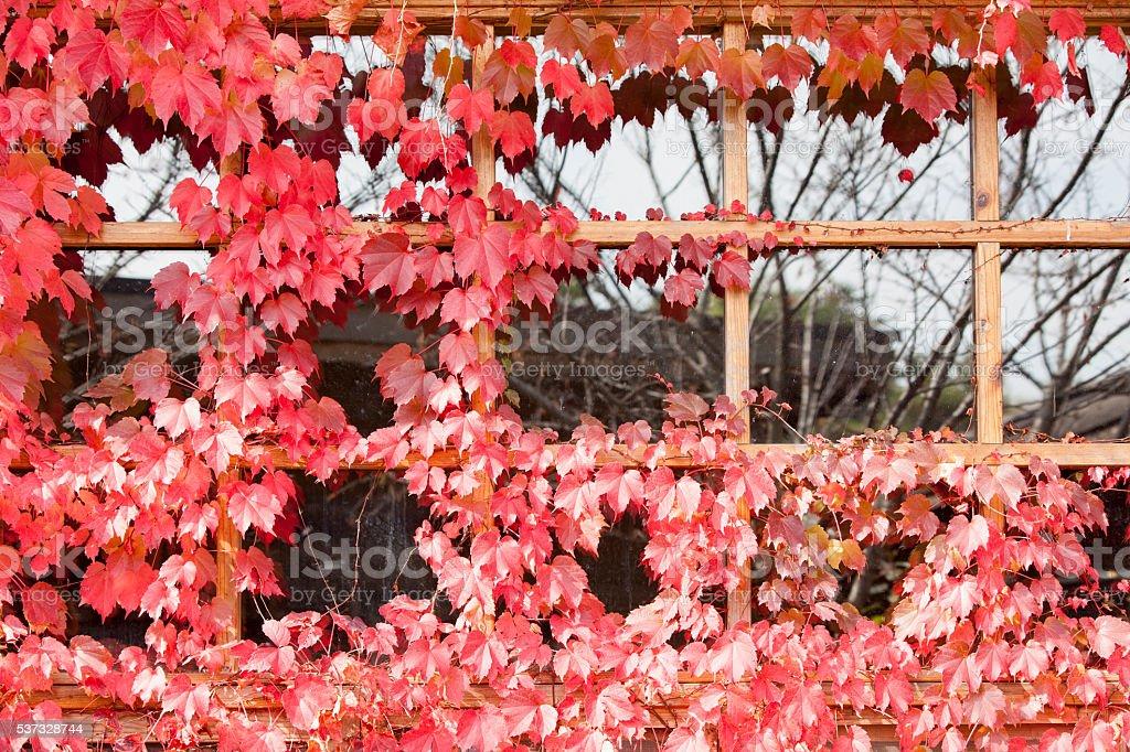 ivy, window stock photo