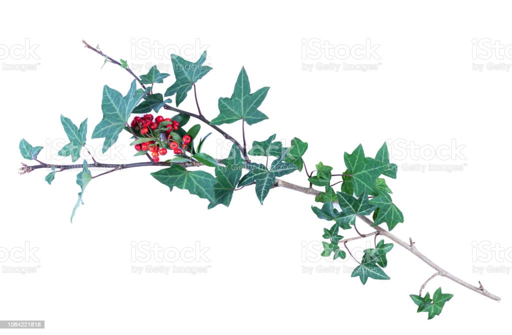 Ivy with berries, isolated on white stock photo