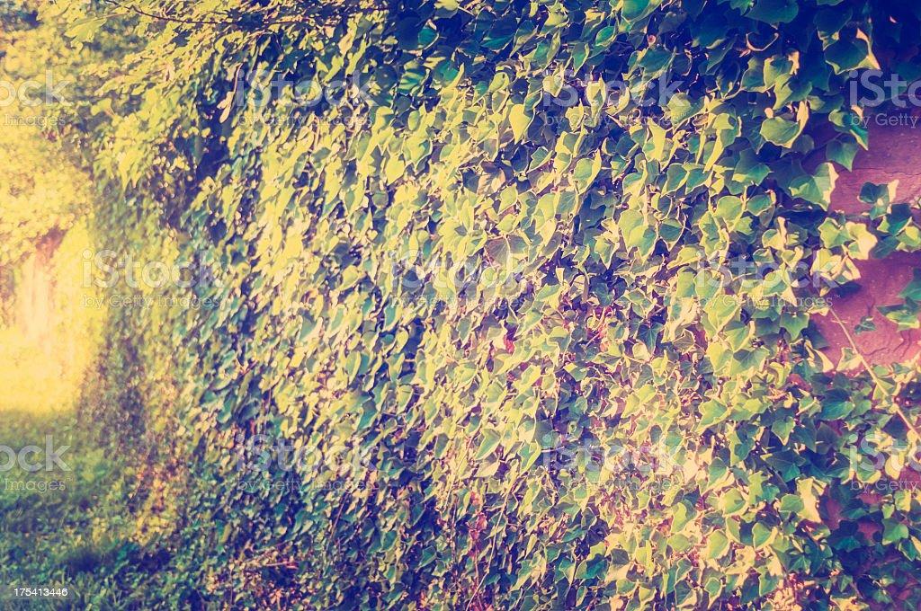 Ivy mit Lichteffekte – Foto