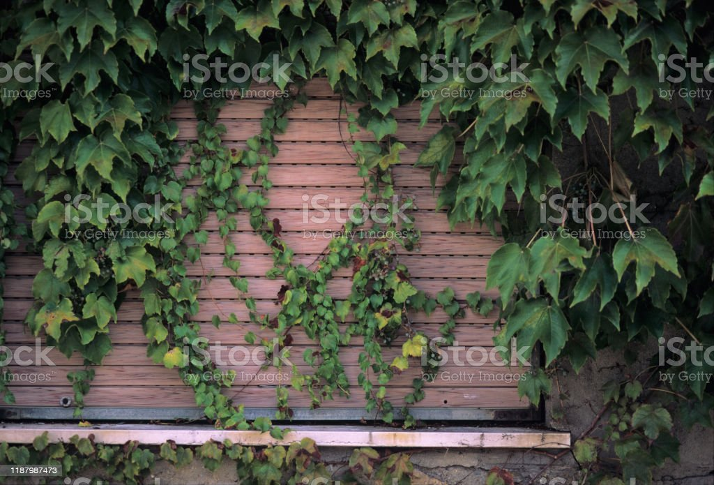 Ivy-covered window, closed with a rolling shutter - Foto stock royalty-free di Architettura