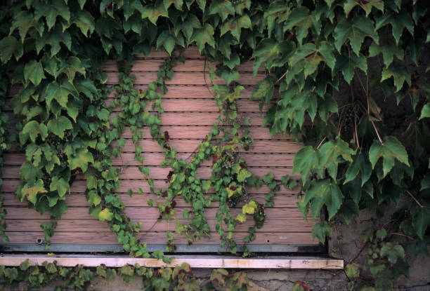 Ivy-covered window, closed with a rolling shutter stock photo