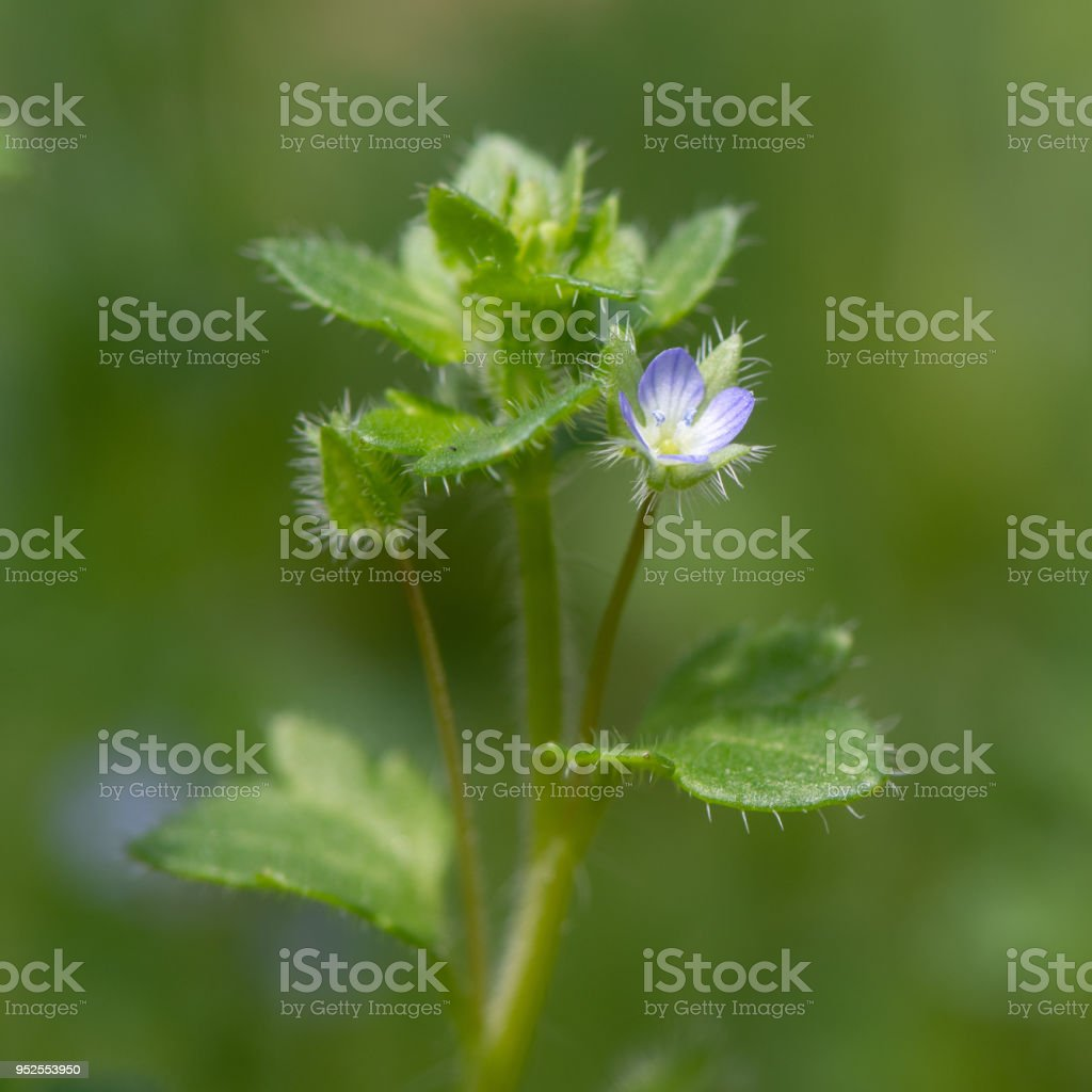 Ivy-leaved speedwell (Veronica hederifolia) in flower stock photo