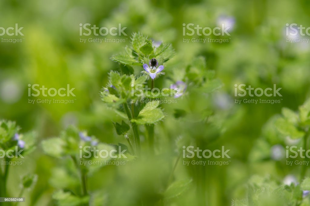 Ivy-leaved speedwell (Veronica hederifolia) plant in flower stock photo
