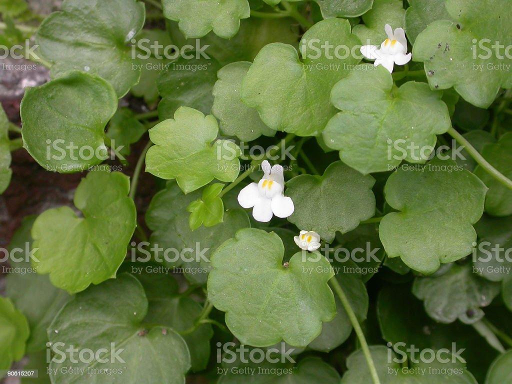Ivy-leaved Toadflax (Cymbalaria muralis) foto