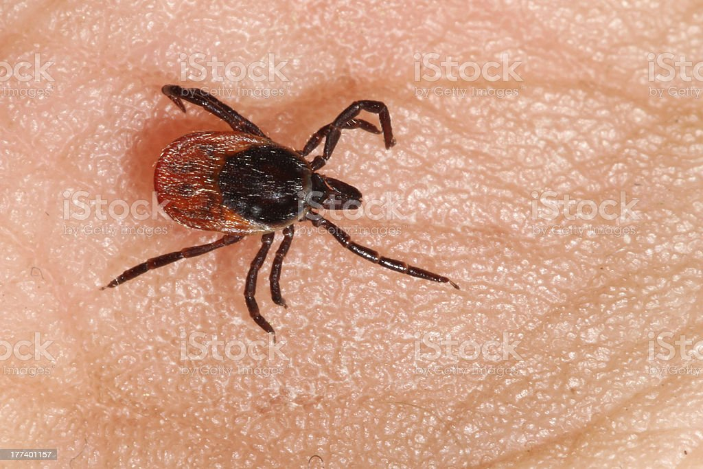 Ixodes ricinus stock photo