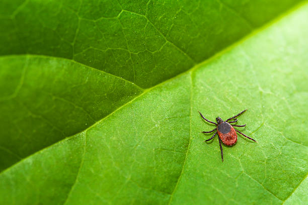Ixodes Ricinus Ixodes ricinus, the castor bean tick, is a chiefly European species of hard-bodied tick. taiga stock pictures, royalty-free photos & images