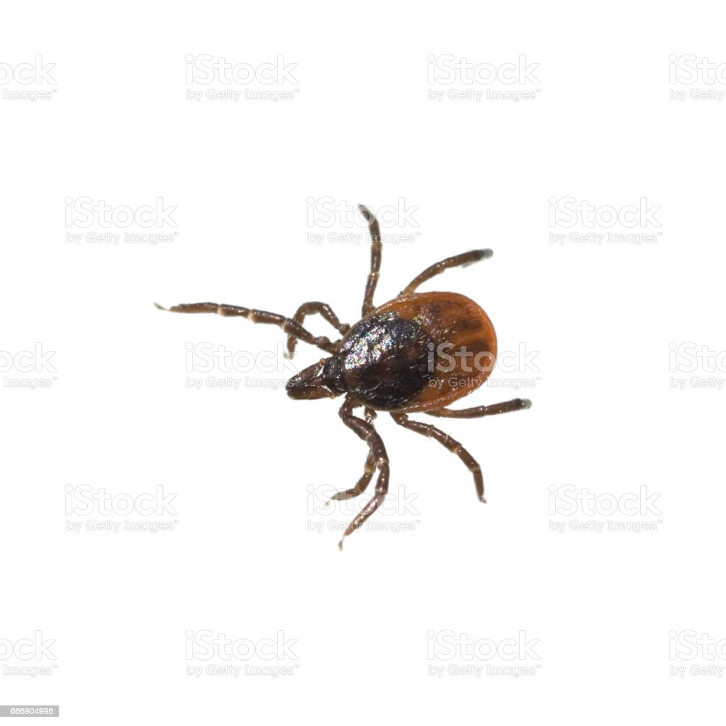 Ixodes; ricinus stock photo