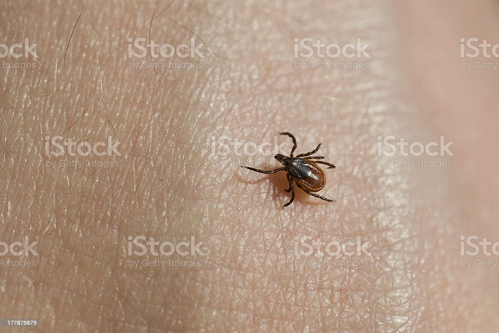 Ixodes scapularis stock photo
