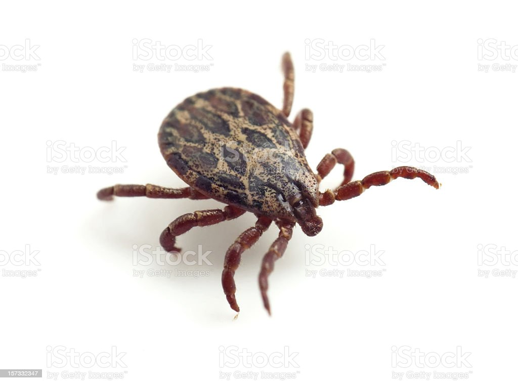 ixodid tick stock photo