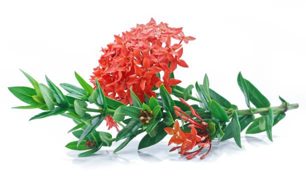 ixora zwam bloem geïsoleerd op witte achtergrond - pauwenkers stockfoto's en -beelden
