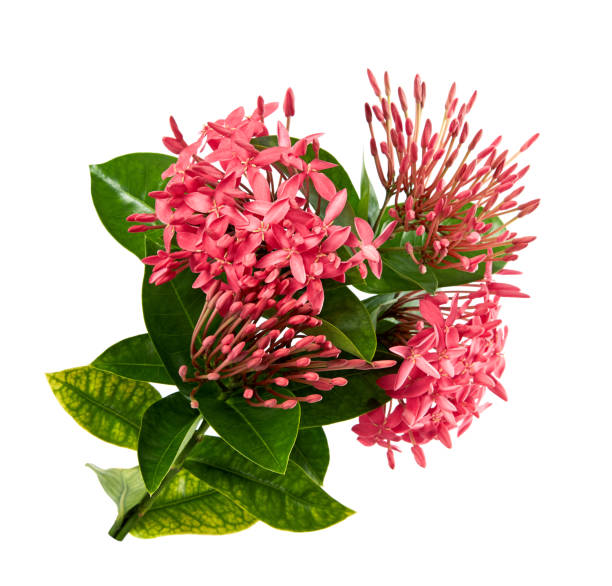 ixora coccinea bloem, roze ixora met bladeren geïsoleerd op een witte achtergrond, met uitknippad - pauwenkers stockfoto's en -beelden