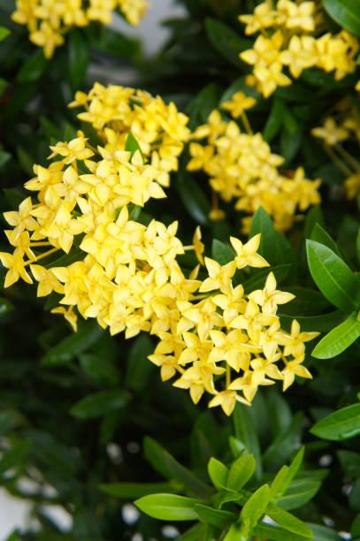 ixora dwerg sunkist gele bloemen verticale - pauwenkers stockfoto's en -beelden