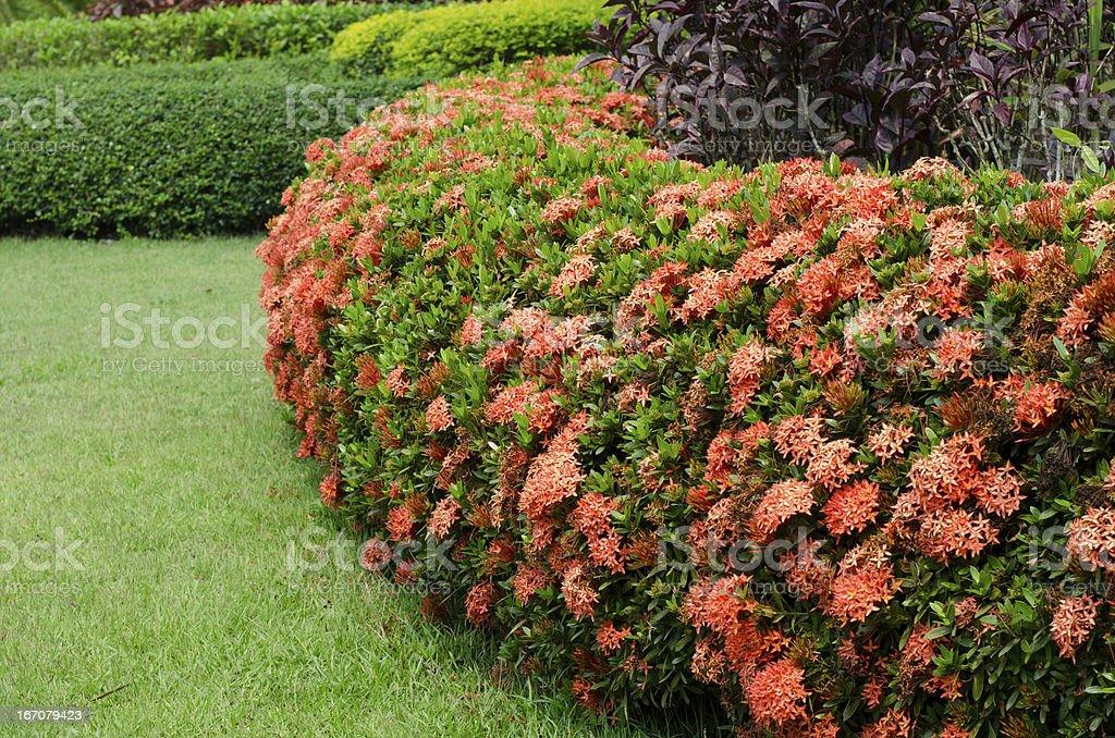 Favoritos Ixora Flor No Jardim - Imagens de acervo e mais fotos de Beleza  BK95