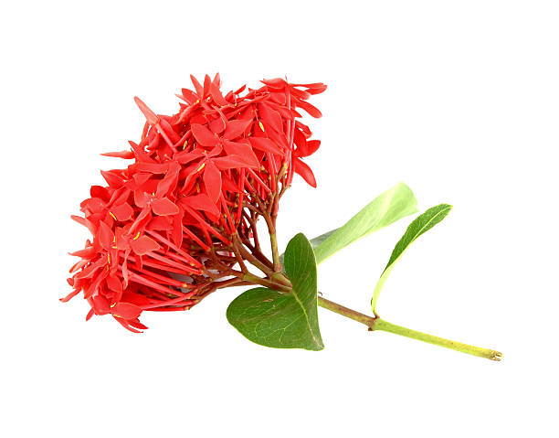 ixora flower on white background - pauwenkers stockfoto's en -beelden