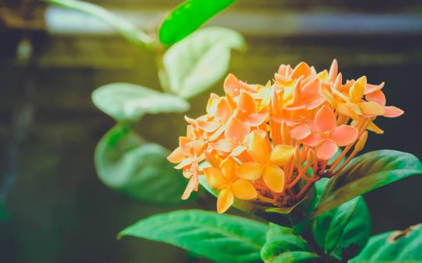 ixora is een geslacht van bloeiende planten uit de familie van de rubiaceae. ixora bloemen in de tuin in het park, wazig - pauwenkers stockfoto's en -beelden