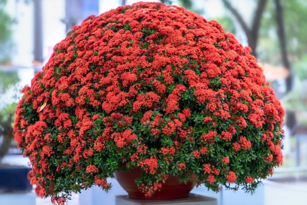 ixora of jungle vlam bloeit in de bonsai boom - pauwenkers stockfoto's en -beelden