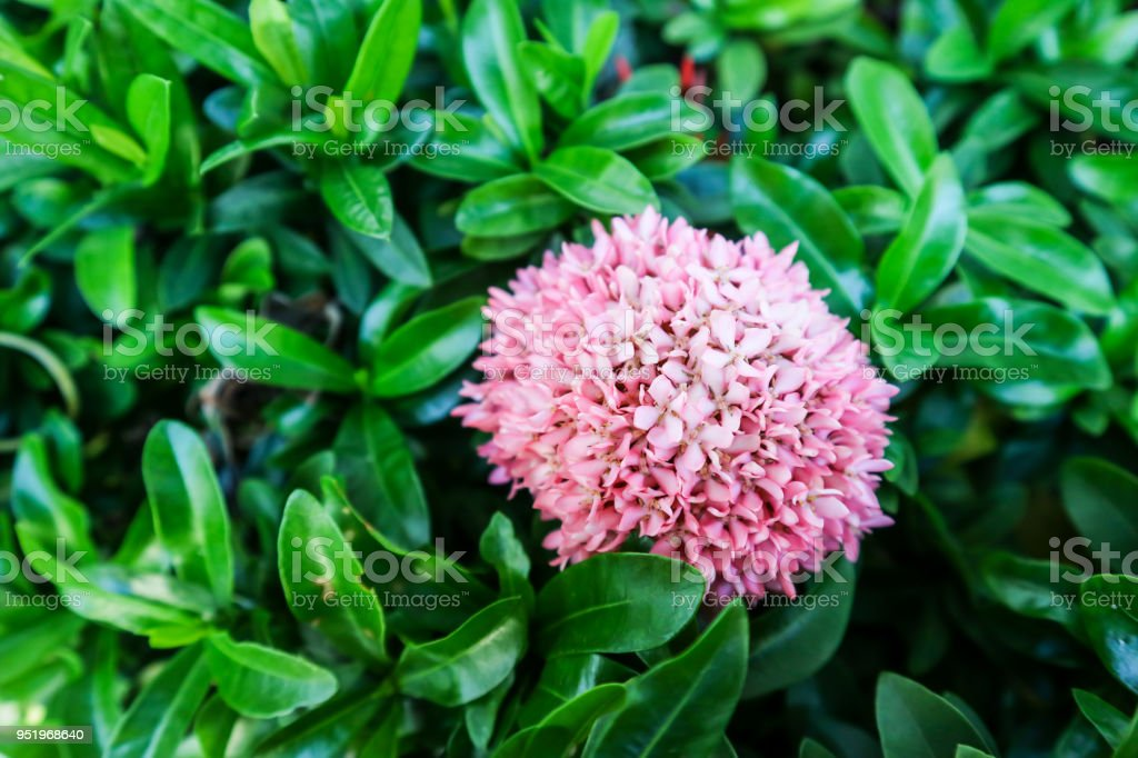 Ixora Pink Flower Boutique Bloom In The Garden Royalty Free Stock Photo