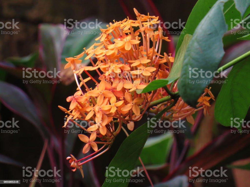 ixora plant - Royalty-free Beauty Stock Photo
