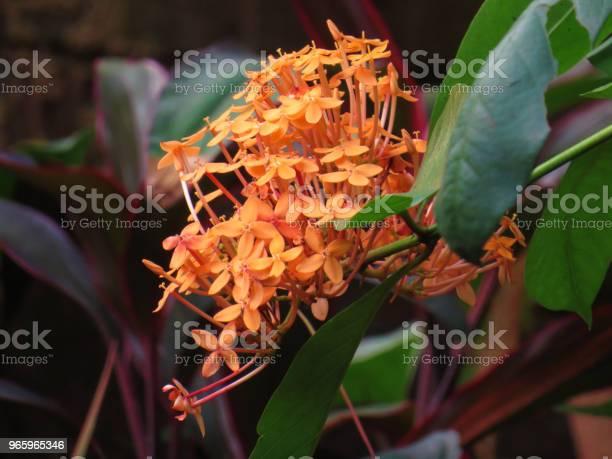 Ixora Plant - Fotografias de stock e mais imagens de Beleza