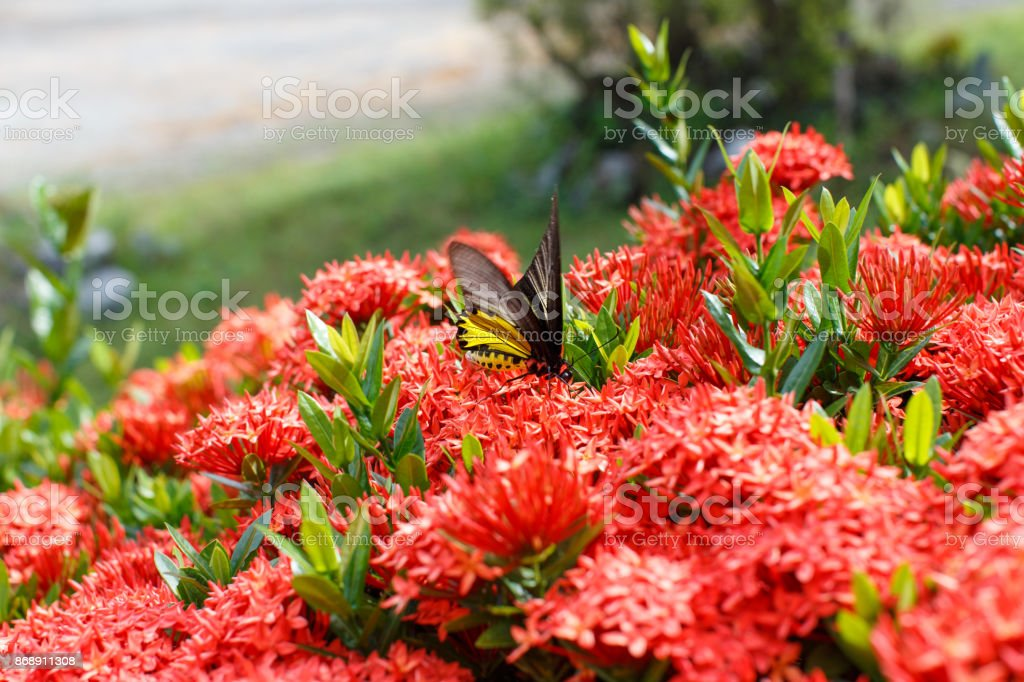 Ixora with butterflies detail nature stock photo