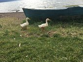 Iznik lake nature and baby geese