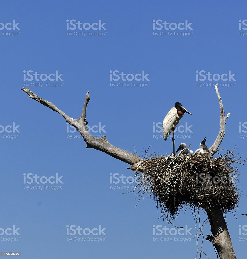 Jabiru Stork on Nest royalty-free stock photo