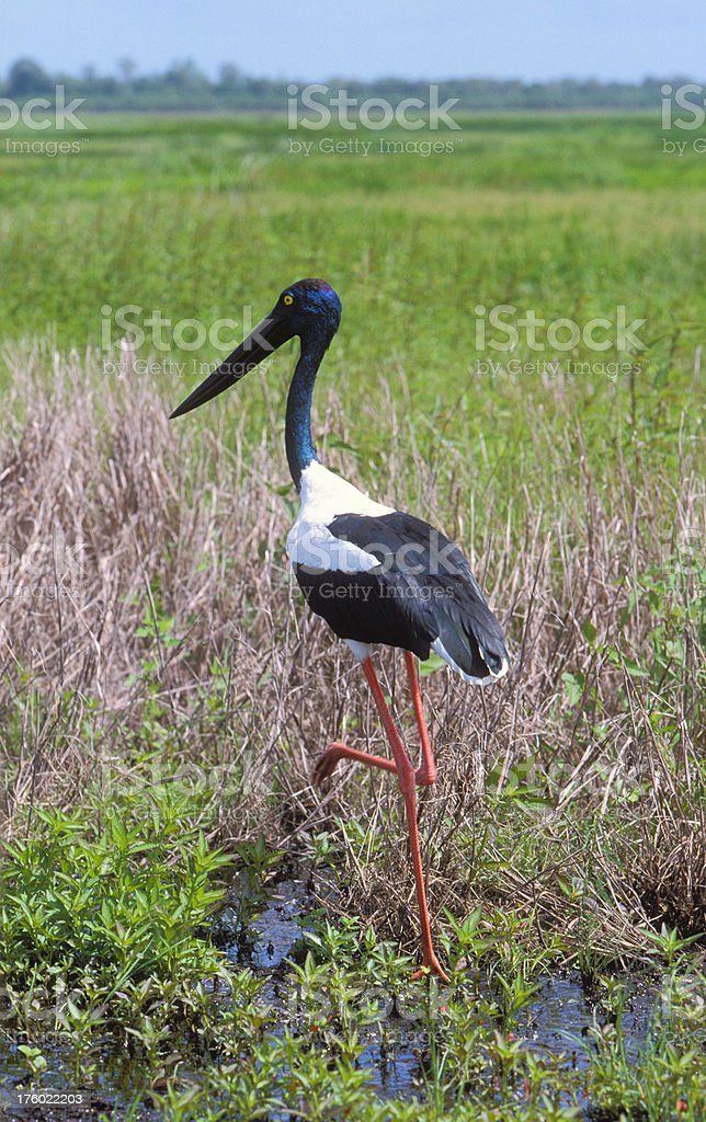 Jabiru striding in wetlands royalty-free stock photo