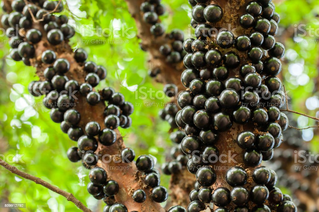 Jaboticaba brazilian tree with a lot of full-blown fruits on trunk stock photo
