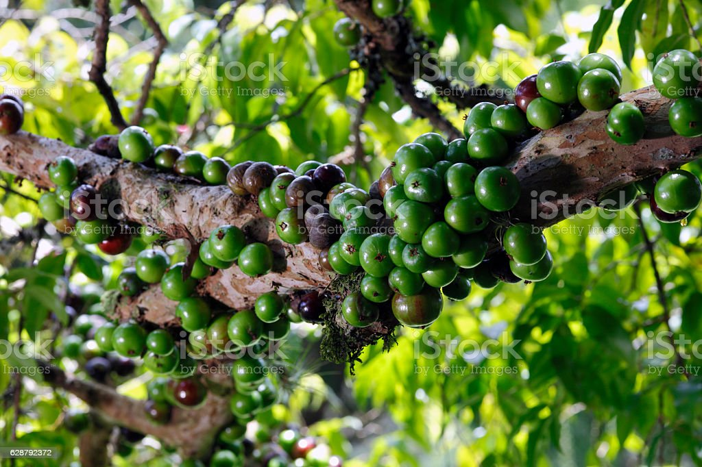 Jabuticaba stock photo