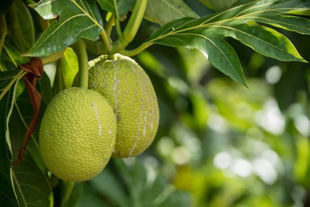 jaca obst - jackfrucht stock-fotos und bilder