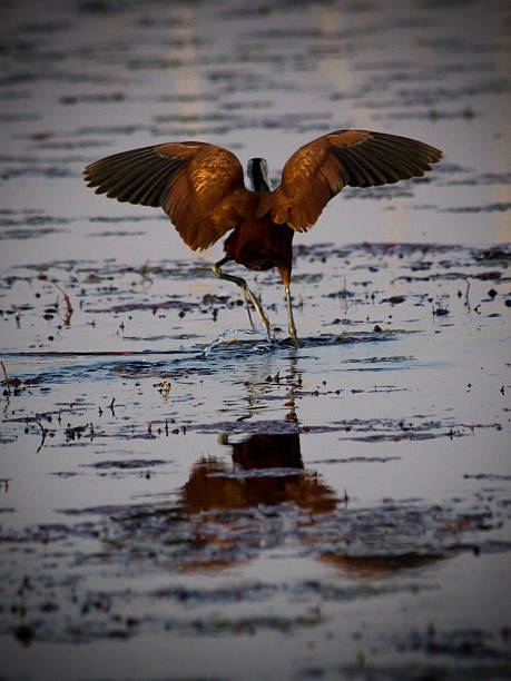 Jacana dancing on the water stock photo
