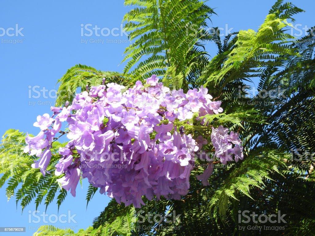 Jacaranda Blüte stock photo