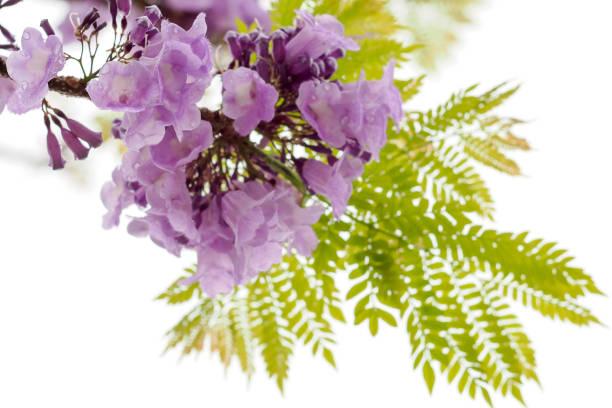 beyaz arka plan üzerinde mor çiçek, bir tür bir önümüzdeki uç ile izole jakaranda güney amerika yerli çiçektir. - gif stok fotoğraflar ve resimler