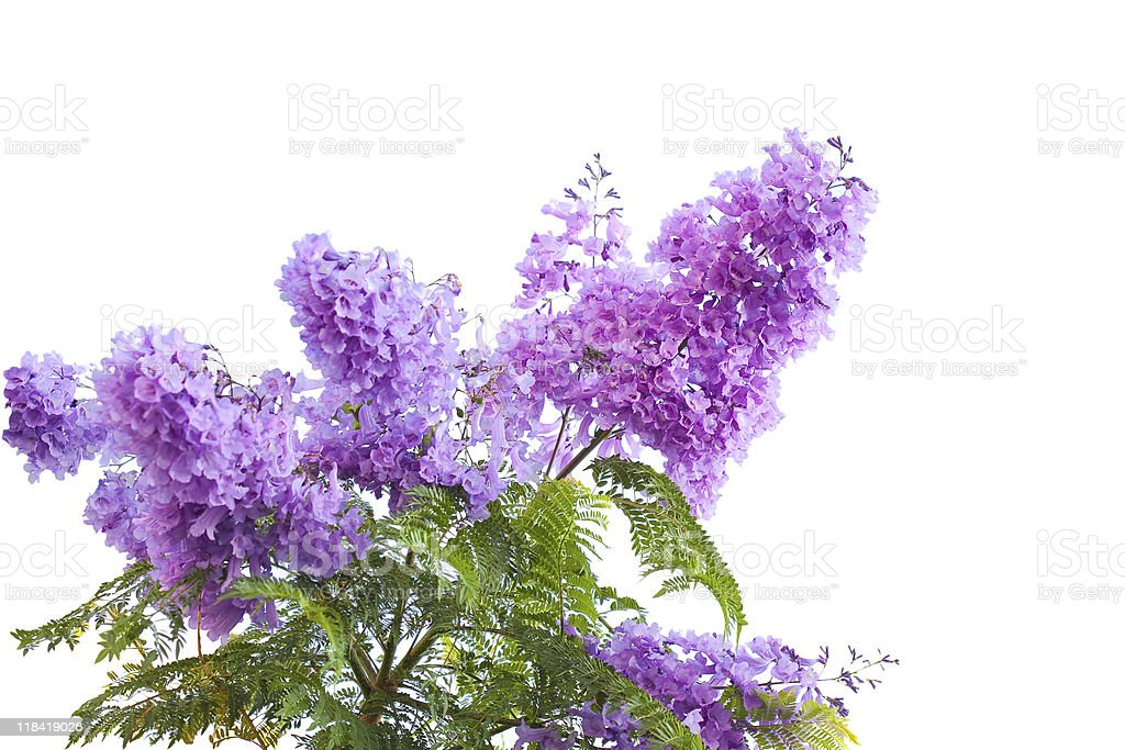 Jacaranda Flower stock photo