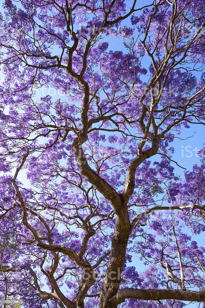 jacaranda flowers and branches with blue sky stock photo