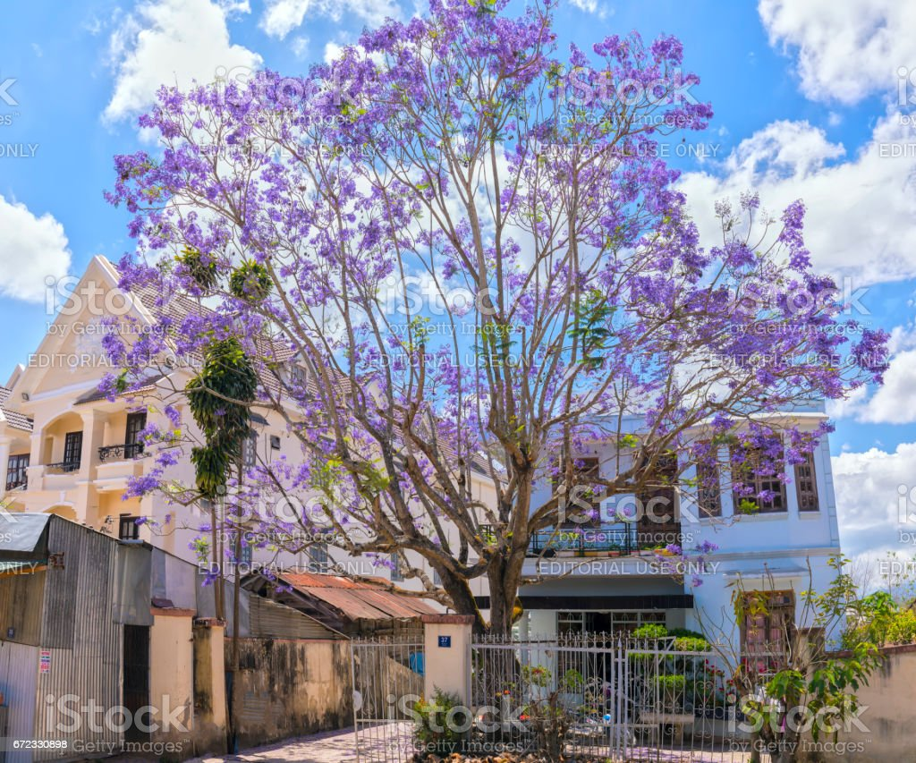 Jacaranda flowers bloom in the courtyard stock photo