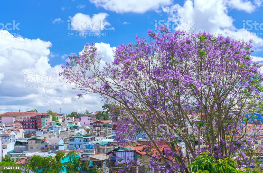Jacaranda flowers bloom on the hill next to the village in the spring of the Da Lat plateau in Vietnam stock photo