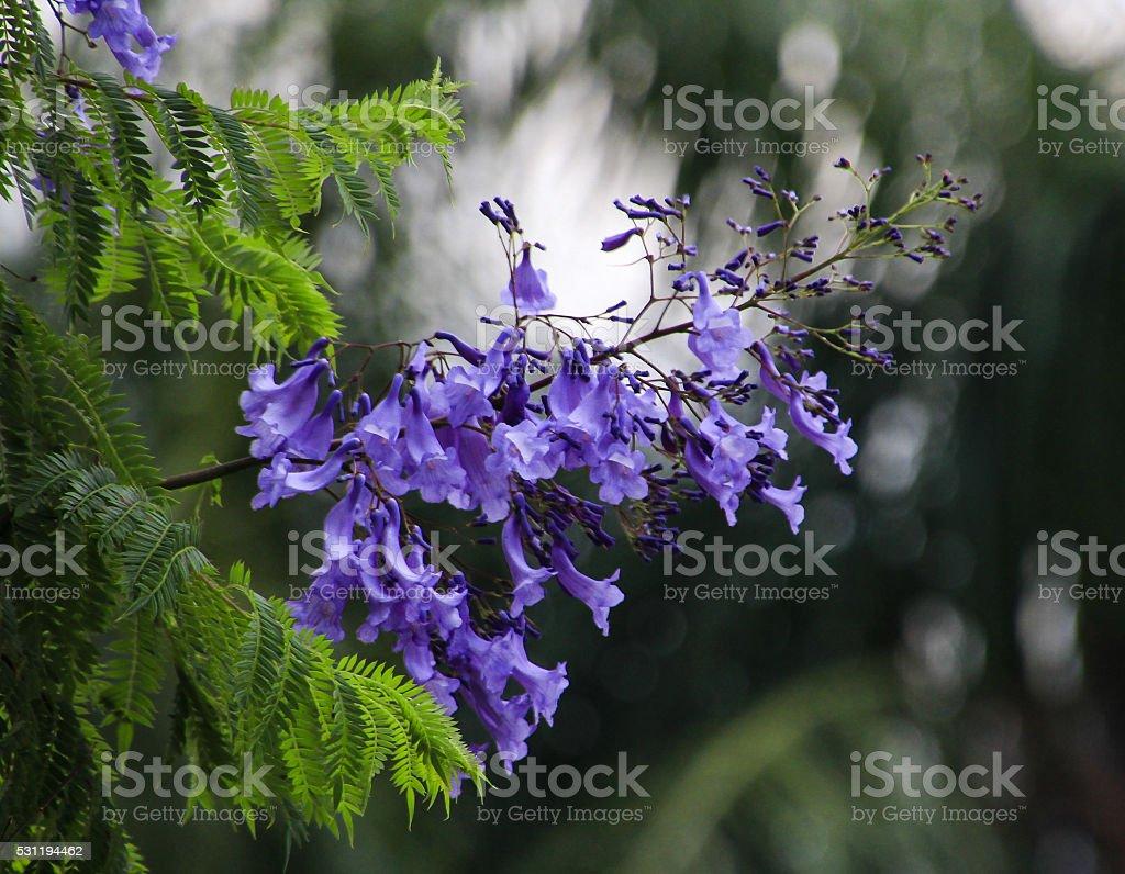 Jacaranda flowers stock photo
