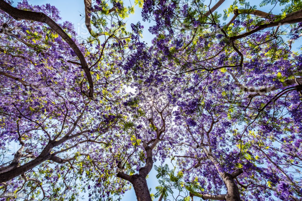 Jacaranda tree and bloom with sky and sunshine stock photo
