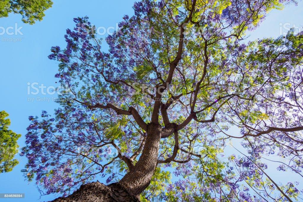Jacaranda Tree And Bloom With Sky And Sunshine Stock Photo More