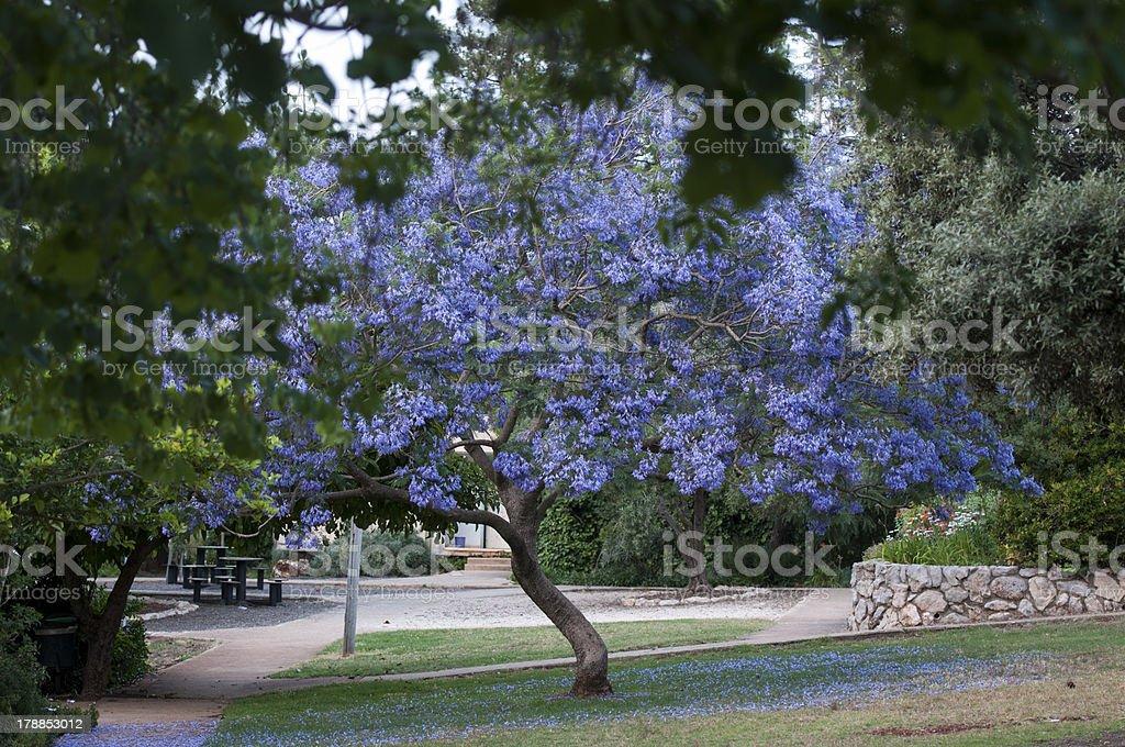 Jacaranda Tree Blossoming stock photo