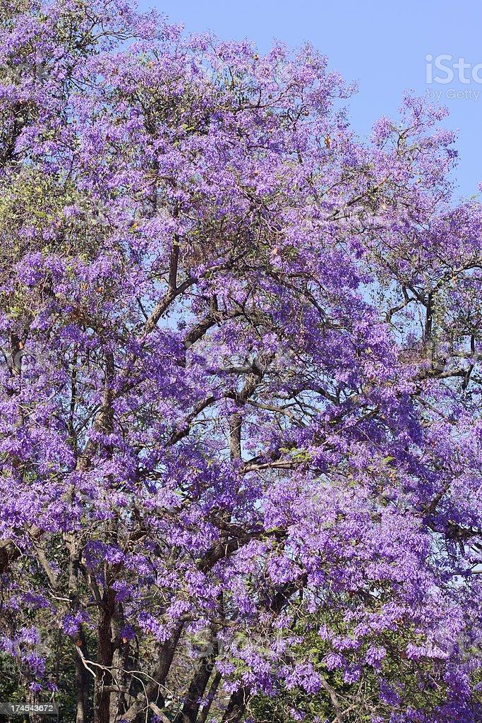 Jacaranda Tree Full Bloom stock photo